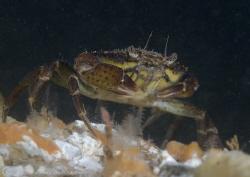 Shore crab. Menai straits. D200, 60mm. by Derek Haslam