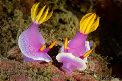 Small talk between Risbecia apolegma and Hypselodoris apo... by Michael Henke