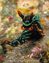Simply Electric!  I shot this nudi on the USAT Liberty wr... by Richard Witmer