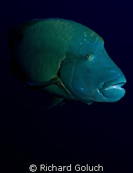 Napoleon Wrasse-Palau-Canon 5D 17-40 mm by Richard Goluch