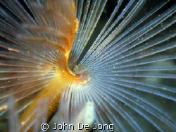 Sabella pavonina. Last summer most of them are eaten by a... by John De Jong