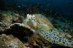 Turtle by Carl Gennaro