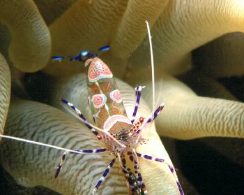 Spotted clean shrimp.  Taken in Curacao w/housed N90s, 10... by Beverly Speed