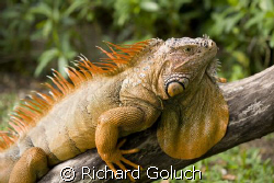 Iguana in the sun-Cozumel Canon 5D 100 mm macro by Richard Goluch