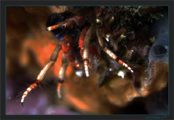 The Mediterranean hermit crab Calcinus tubularisis is spe... by Sven Tramaux