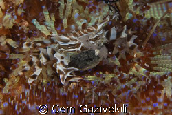 The crab with its eggs by Cem Gazivekili
