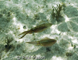 Caribbean Reef Squid.   Was snorkeling at the time I ran ... by Paul Mason
