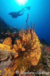 Beautiful orange elephant ear sponge with a diver by Barbara Schilling