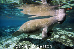 Blue Water Manatee, taken at Crystal River FL. by Ray Eccleston