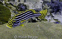 """""""Oriental Sweetlips"""".  This flashy fish has a little shad... by Malia Beggs"""