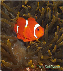 Anemone fish at Tulamben, Bali.  This was my first dive t... by Richard Witmer