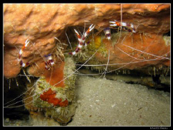 Couple of shrimps by Bea & Stef Primatesta