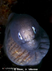 A juvenile moray eel, taken last Jan.6 at Samal Island, D... by Elizer, Jr. Villarosa