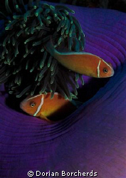 Pink Anemone fish near Kavieng.Used my Nikon D70s with 60... by Dorian Borcherds