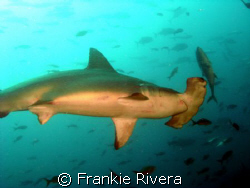 Scalloped HammerHead while diving in Darwin's Arch, Galap... by Frankie Rivera