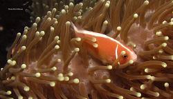 Taken at Lumbalumba house reef, Manado. Canon G9/Ikelite ... by Richard Witmer