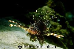 Lionfish from Mauritius by Petra Dolezalova