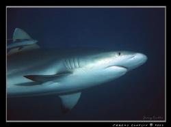 Grey Reef Shark... by Jeremy Conklin