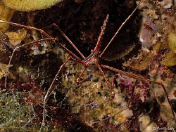 Yes, one more Arrow Crab, this photo was taken while divi... by Steven Anderson
