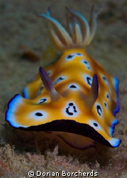 Leopard Chromodoris.Cropped, Used Nikon D70s with 60mm Mi... by Dorian Borcherds