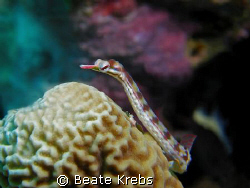 Pipefish taken with my Canon S70 with CloseUp Lens by Beate Krebs