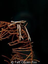 Squat Lobster on a Crinoid, Lembeh, N Sulawesi by Fatt Chuen Foo