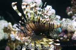 Lionfish- picture taken in 2006 Red Sea Canon 20 D 60 mm ... by Richard Goluch