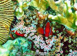 Waiting for an anemone fish to stop long enough to pose i... by Malia Beggs