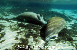 Manatee taking a snooze, taken at Crystal River FL. by Ray Eccleston