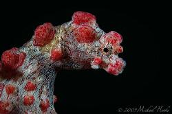 Hippocampus bargibanti - Pygmy seahorse by Michael Henke
