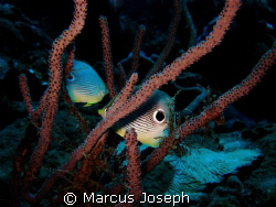 Four-eye Butterfly fish by Marcus Joseph