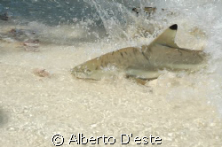Baby shark in Lankayan Island, Indonesian Borneo by Alberto D'este
