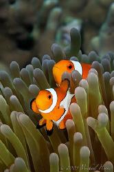 Amphiprion ocellaris - False clown Anemonefish (Clownfish) by Michael Henke