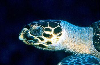 Turtle Race.  Hawksbill turtle taken in Grand Cayman w/ho... by Beverly Speed