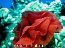 Spanish dancer nudibranch Eggs mass rosette (hexabranchu... by Jozef Butala