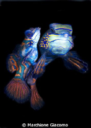 The lovers. Nikon D200 , 60 micro, twin strobo Lembeh s... by Marchione Giacomo