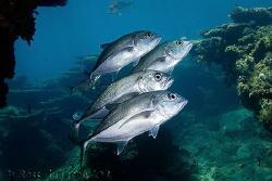 Big-eye Trevally.  Ningaloo Reef, Western Australia.  Can... by Ross Gudgeon