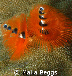 """""""Christmas Tree Worms"""".  Taken with Canon A650IS in macro... by Malia Beggs"""