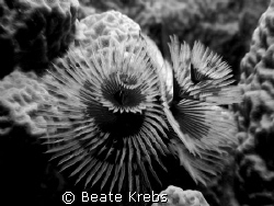 Christmas Tree Worm in black and white taken with my Cano... by Beate Krebs