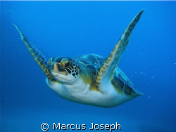 GREEN TURTLE ( Chelonia Mydas) The green turtle has a wi... by Marcus Joseph