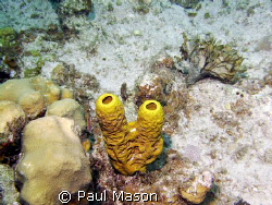 TUBE CORAL GRAND CAYMEN by Paul Mason
