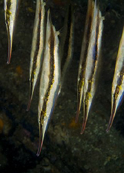Razorfish (Aeoliscus strigatus) in Anilao. by Jim Chambers