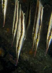 Razorfish (Aeoliscus strigatus) in Anilao. by Jim Chambers