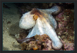 Common Octopus (Octopus vulgaris) in a white dress by Sven Tramaux