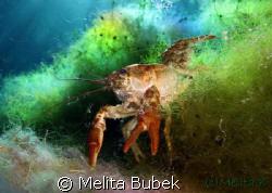 crayfish from Cornino lake /Canon G9, macro lens, in-stro... by Melita Bubek