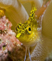 Diamond Blenny, one of my favorite little fish in the Car... by Deborah Chambers