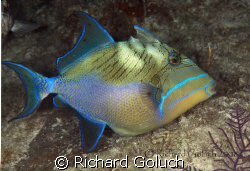 Queen Triggerfish-Canon 5D 100 mm macro by Richard Goluch