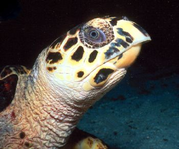 Hawksbill close-up taken in Grand Cayman with N90s, 105mm... by Beverly Speed