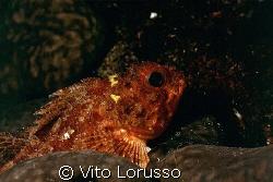 Fishs - Scorpanea notata by Vito Lorusso