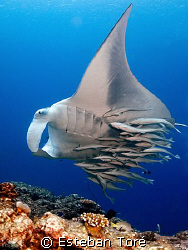 For the remoras this big manta was a nice place to take a... by Esteban Toré